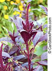 rojo, amaranth, (Amaranthus, cruentus)