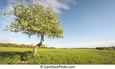 Single blossoming apple tree with clouds time lapse