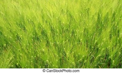 green ears of wheat - Wheat ears swaying in the wind, view...