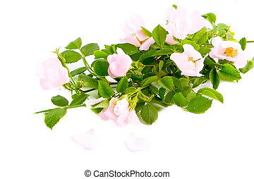Rosa canina flower and leaves isolated against white
