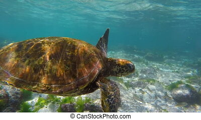 Close up of sea turtle swimming in shallow water - Close up...