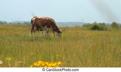 Cow feeding on the meadow - Brown dairy cow feeding on the...