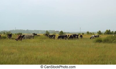 Cattle in the field - Cattle on the pasture. Cows eating...