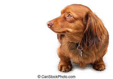 Long haired miniature dachshund isolated on white - Long...
