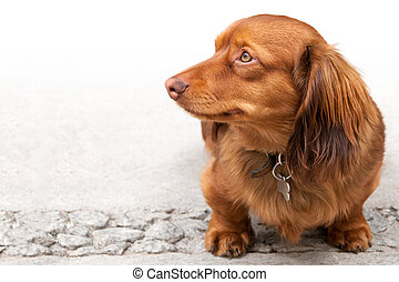 Long haired miniature dachshund isolated on white