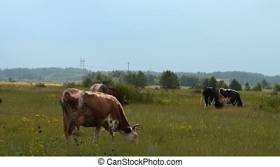 Cows grazing on the meadow - Cows feeding on the meadow....