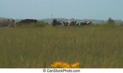 Herd of cattle on the pasture - Cattle feeding on the...