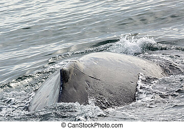 Fin on the back of humpback whale in Pacific Ocean. Water...
