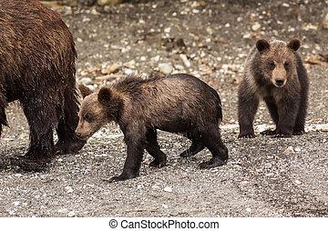 marrón, oso, Cachorros, en, el, orilla, de, Kurile,...
