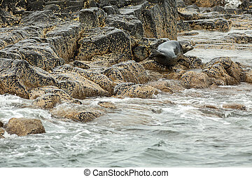 Pusa is a genus of earless seals Island in the Pacific Ocean...
