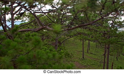 Close Upper View of Green Tops of Pine Forest - upper close...