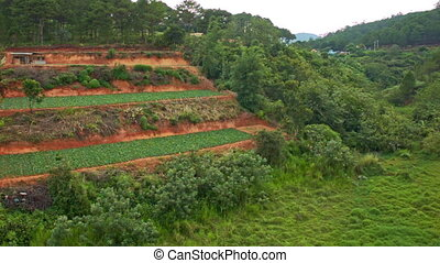 Upper View of Hill Terrace Fields among Tropical Pine Forest...