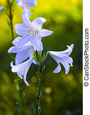 lilies. madonna lily,white lily,flowers spring,lily on...