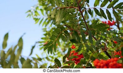 Rowan berries, Mountain ash tree with ripe berry - Rowan...