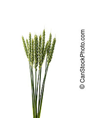 Green wheat ears isolated