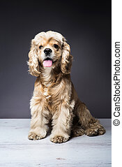 Young purebred Cocker Spaniel on wooden floor