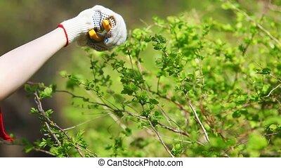 Cutting bushes - Young woman cutting bushes.