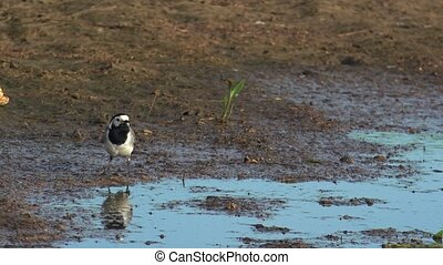 Wagtail in natural environment. White wagtail (motacilla...