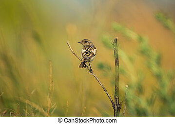Male young Europian stonechat or Saxicola rubicola seats on...