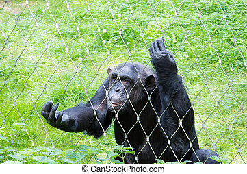 Lonely chimpanzee in cage at zoo - Sad chimpanzee in cage at...
