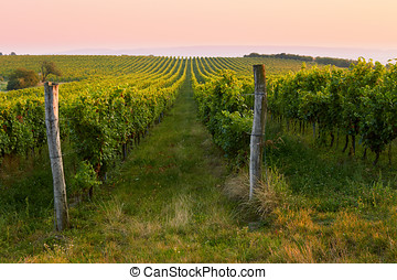 Evening view of the vineyards. Toned at sunset