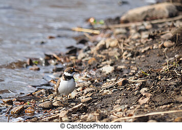 little ringed plover on the river bank
