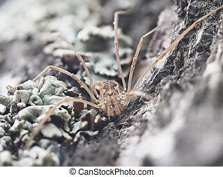 harvestman spider on tree bark