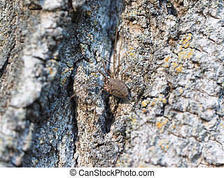harvestman spider on tree bark