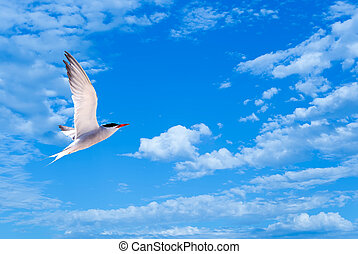 Flying gull or sea gull in blue sky with white clouds -...