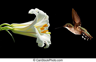 Female Ruby-throated Hummingbird feeding from beautiful lily...