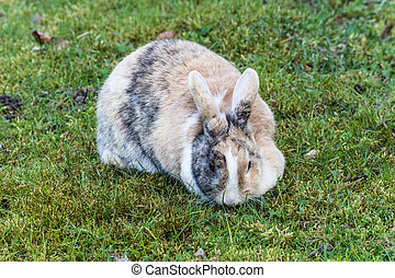 Dappled bunny in the grass - Dappled bunny rabbit sitting in...
