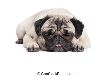 adorable cute pug dog puppy lying down flat and making funny...
