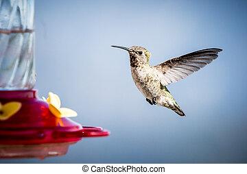 Female Anna's Hummingbird - A female Anna's hummingbird...