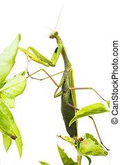 European Mantis or Praying Mantis, Mantis religiosa, on...