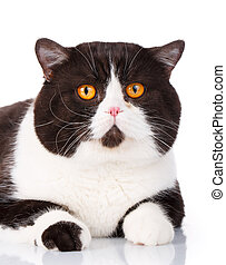Portrait of a cute lying black and white cat Scottish...
