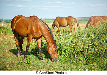 Red brown horse grazing in meadow, summer time