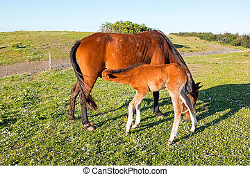 Foal drinking from mare on a summer pasture