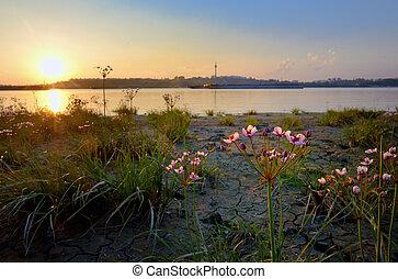 Flowering rush (Butomus umbellatus) at sunset