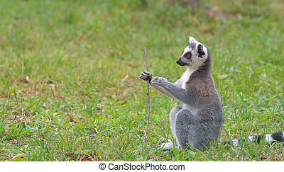 ring-tailed lemur (lemur catta) on field