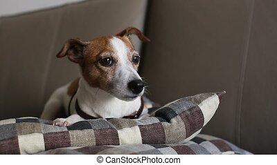 Jack Russell Terrier dog lying couch, falls asleep