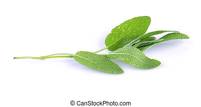 fresh Sage plant on a white background
