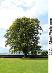 Fantastic Tree in Courtyard at Stirling Castle - Tree in the...