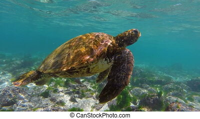 Wild sea turtle swimming to the surface for air - Close up...