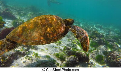 Underwater scene with sea turtle swimming - Underwater shot...
