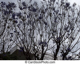 Jacaranda - a tree with unusual violet flowers