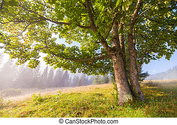 Oak tree in full leaf in summer standing alone. - Oak tree...