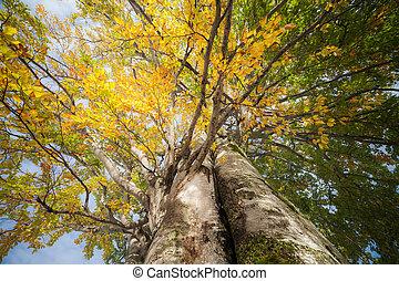 Oak tree in full leaf standing alone. - Oak tree in full...