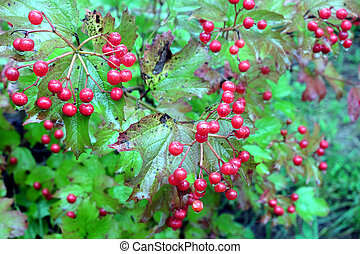 Viburnum bush with ripe red berries - Viburnum bush with lot...