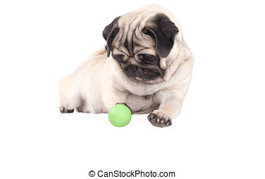 droll pug dog puppy playing with green ball, isolated on...