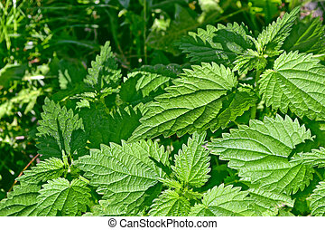 colorful green stinging nettle leaves Summer landscape